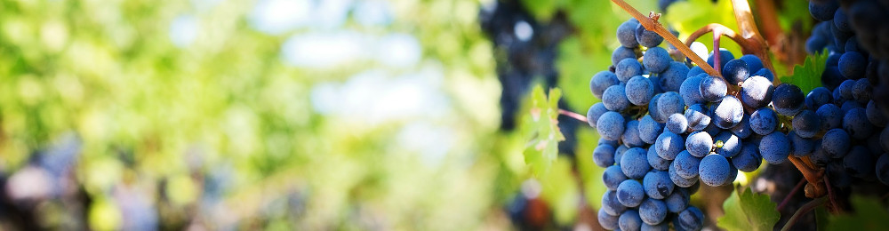 Bild zu der Überschrift Rosinen. Trauben am Weinstock.